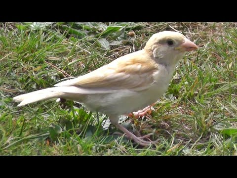 White House Sparrow - Leucistic Birds