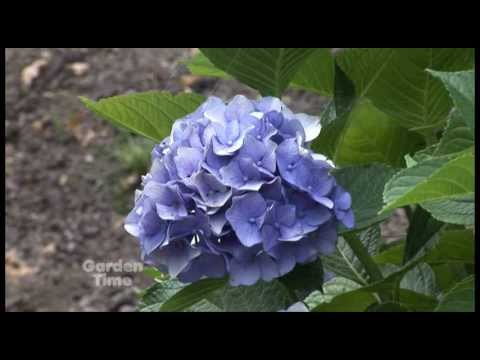Fall Hydrangea Care