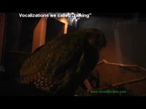 Sirocco The Kakapo Vocalizes