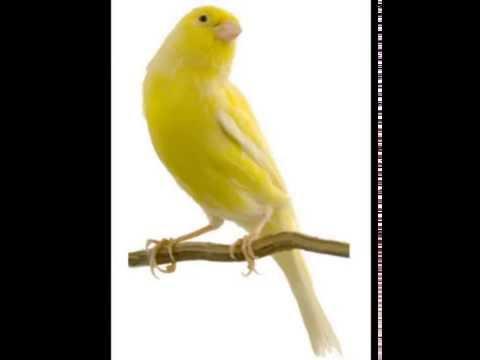Download Lagu Masteran ( Suara Kicau / Kicauan ) Burung Kenari F1 , AFS , AF , Loper , Lokal Gacor