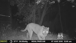 Tracking Devices Reveal Mountain Lions Thriving In Santa Cruz Mountains