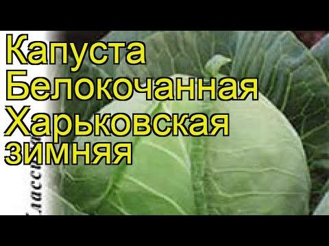 Капуста белокочанная Харьковская зимняя. Краткий обзор, описание характеристик brássica olerácea