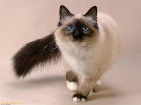 اشهر 10 انواع قطط فى العالم