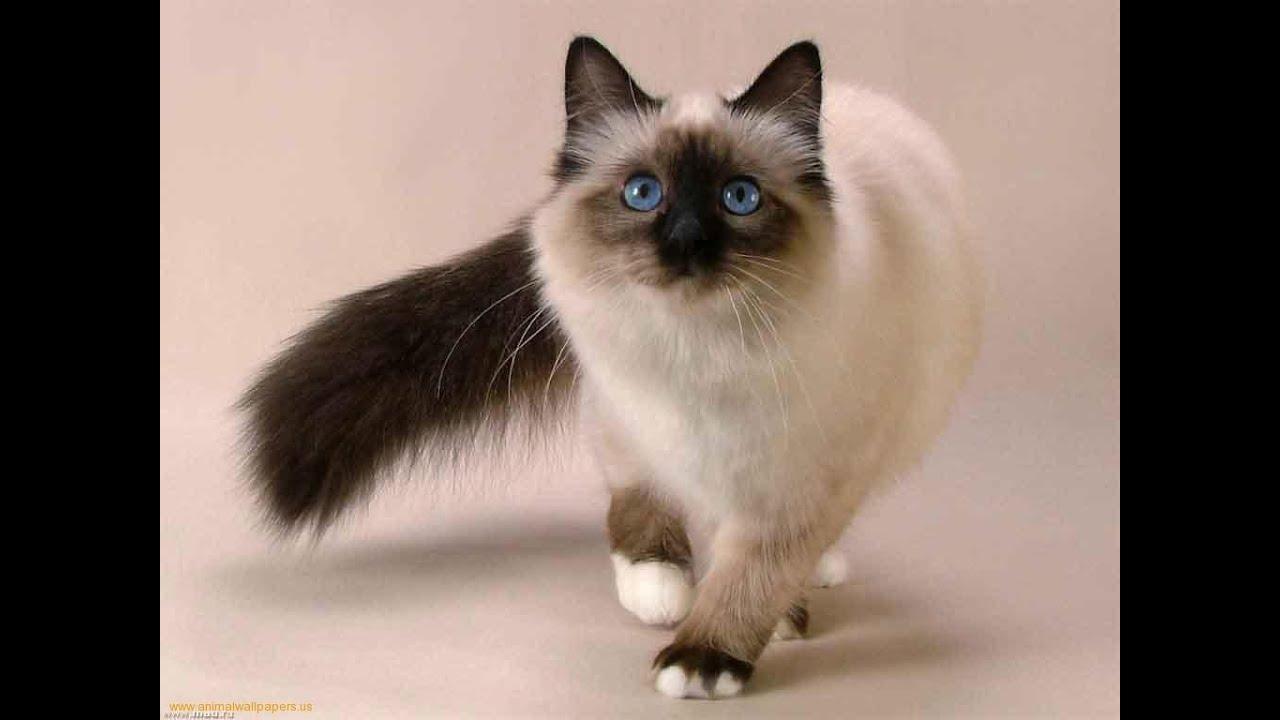 اشهر 10 انواع قطط فى العالم Youtube