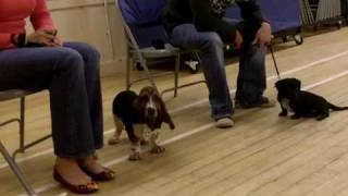 Lily The Parsons Jack Russell At 1st Puppy Training Class. Insanely Cute