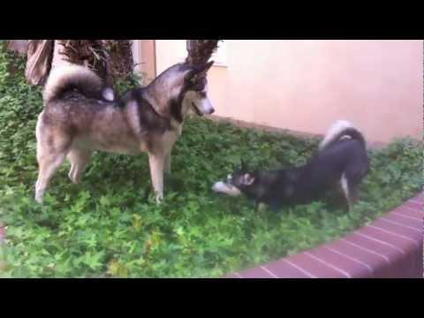 Alaskan Klee Kai vs. Siberian Husky (Extended)