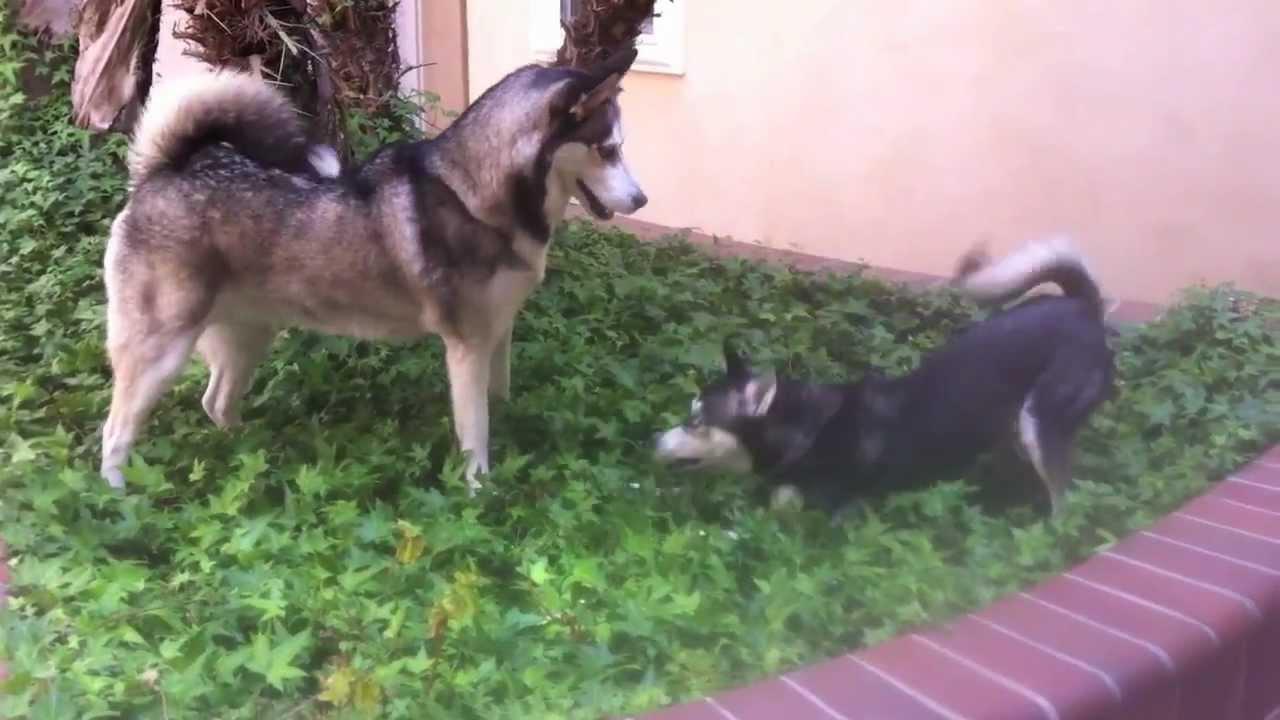 Bien connu Alaskan Klee Kai vs. Siberian Husky (Extended) - YouTube DY15