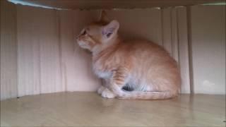 Котенок окрас рыжий, котик Красноярск