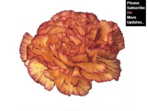 carnation orange fresh flower set of carnation flowers and colors - Carnation Flower Colors
