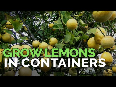 How To Grow Meyer Lemons In Containers Pt. 1