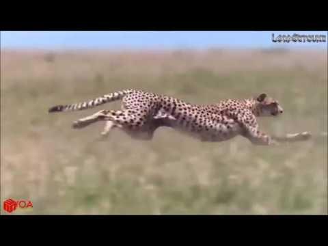 動物搜奇-一隻不知死活的猴子蛇口搶食 VS 一隻熊讚的猴仔豹口救羊