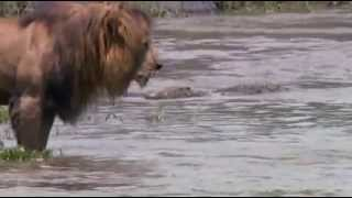 how  the lion  scares big crocodile even it is in water.