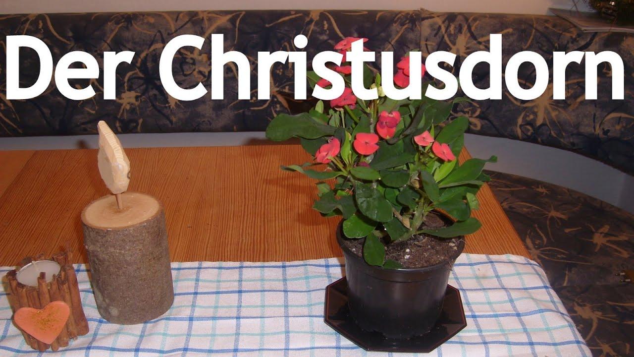 Christusdorn