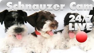 Live Event Playback Is Not Supported On This Client.     Schnauzer Puppy Live Cam