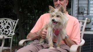 Lola -  Cairn Terrier Mix In West Chicago Illinois