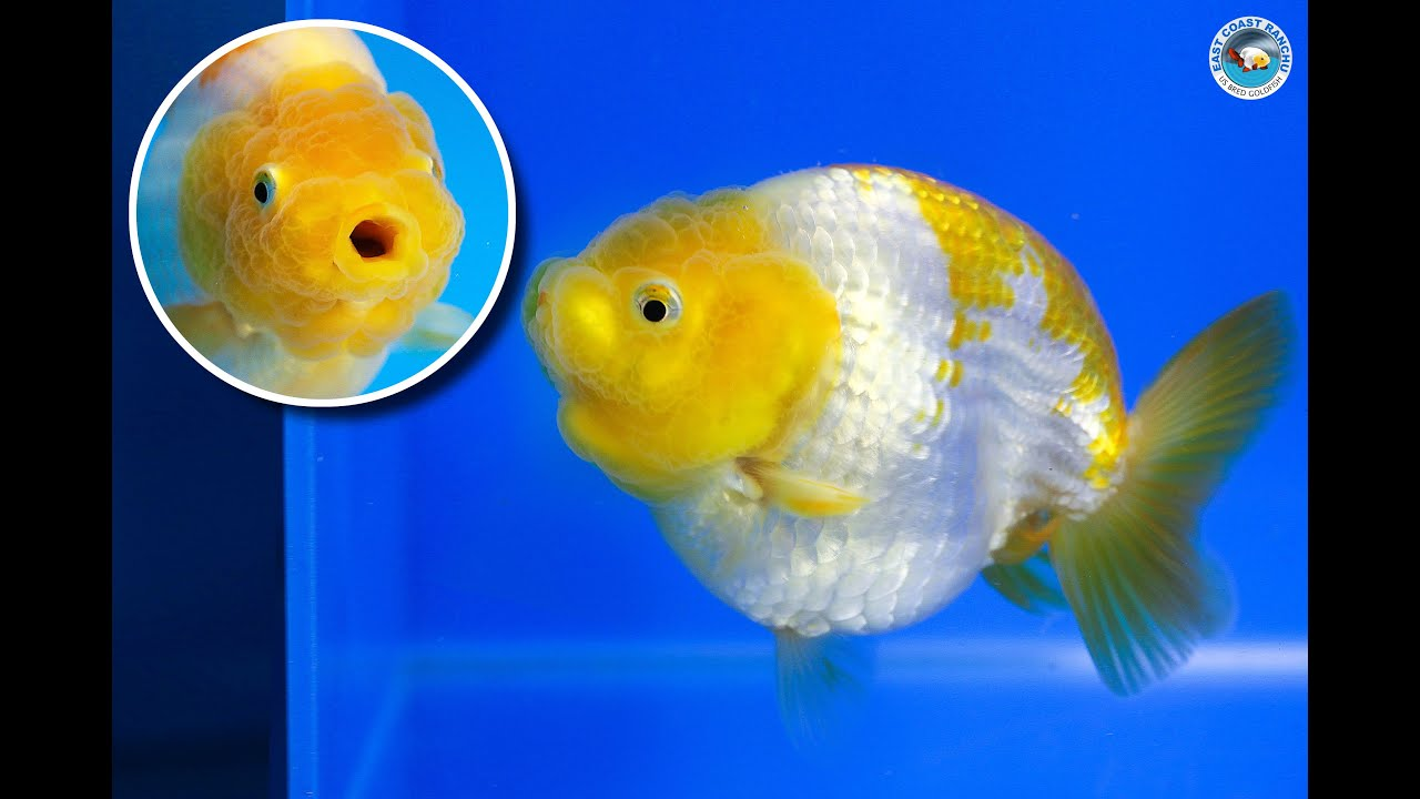 Sold ranchu goldfish for sale fb1086 youtube for Gold fish for sale