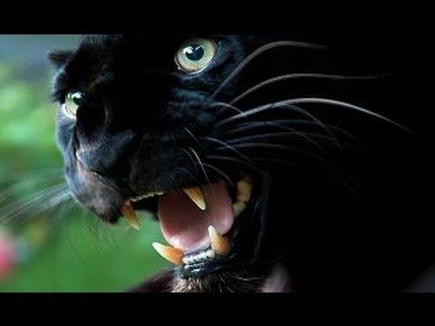 The Mystery of Britain's Alien Big Cats