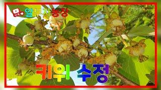 참다래 재배방법 키위 수정 결과