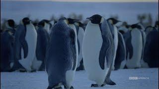 Dynasties: Emperor Penguins | Saturdays at 9pm | BBC America
