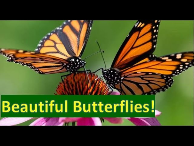 Beautiful Butterflies | Amazing Butterflies