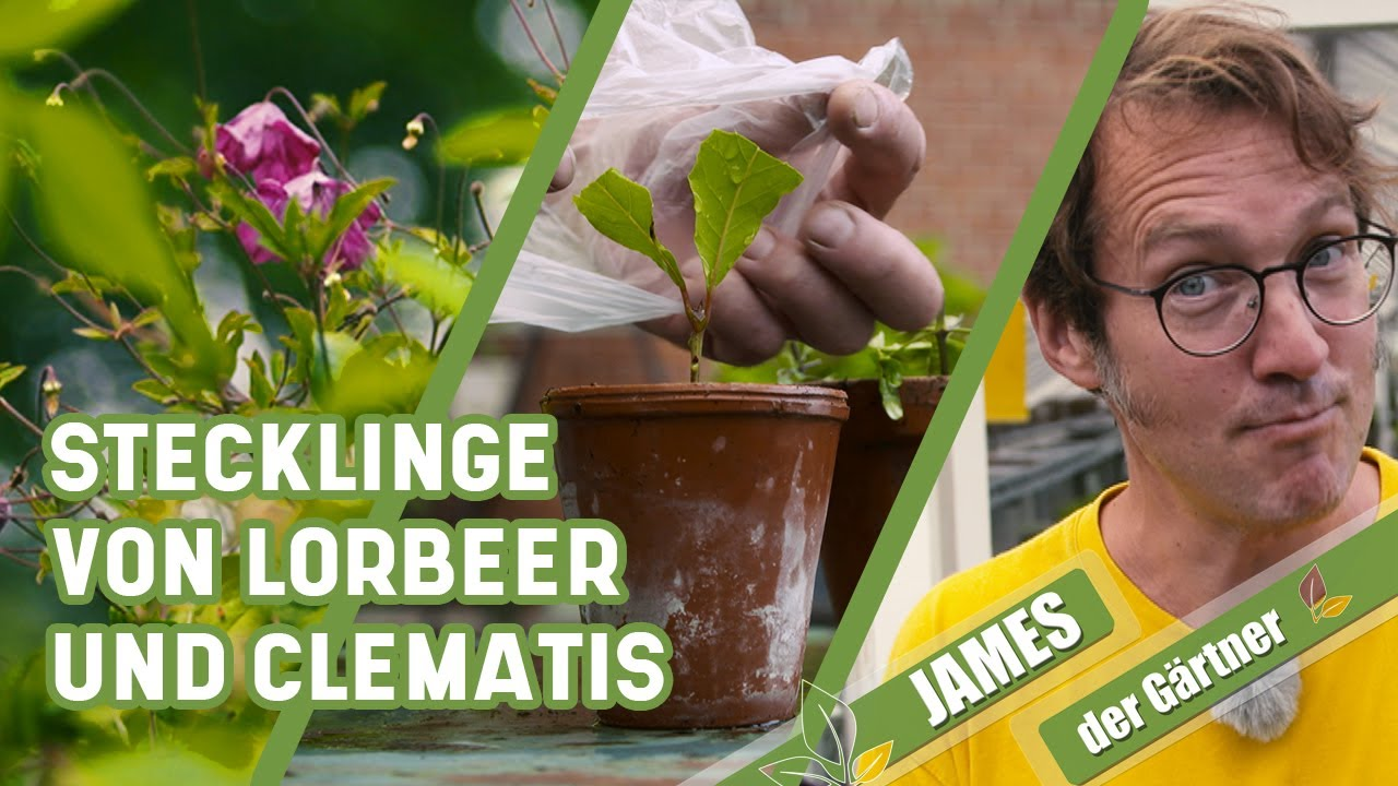 So vermehrt man Lorbeer und Clematis über Stecklinge   James der Gärtner