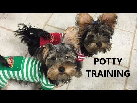 Yorkie Puppies Potty Trained House Training A Yorkshire Terrier