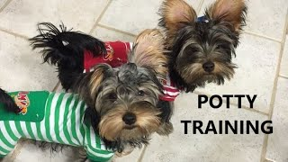 Yorkie Puppies Potty Trained. House Training A Yorkshire Terrier. Housebreaking A Yorkie
