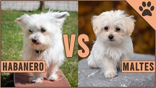 Habanero vs Maltes  ¿Qué raza de perro es mejor? | Perros Mundo