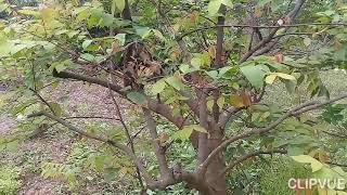 bấm ngọn cho cây khế