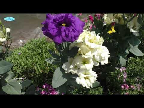 Эустома в цветении. Что получилось у нас после 6 месяцев выращивания эустомы.