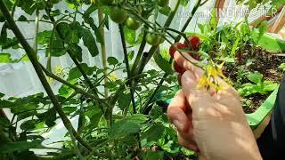 베란다토마토첫수확210221