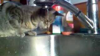 Lilly trying to drink water from a running faucet.