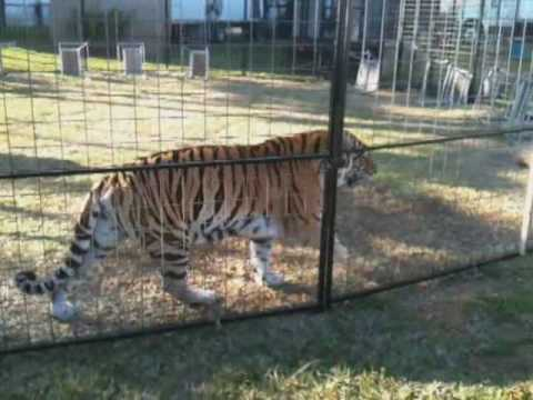 Tiger cage at the miami dade county youth fair youtube - Tiger in cage images ...