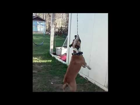 Dog Hangs and Swings on Rope