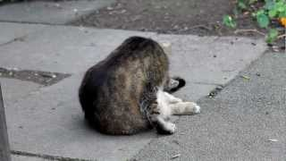 funny cat licking its own back