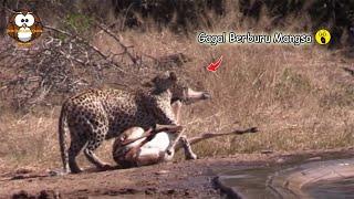 Seekor Macan Tutul Gagal Berburu Impala Karena ini...