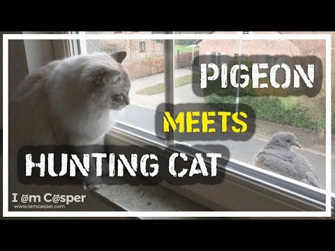 Hunter Cat Ragdoll Casper meets young baby pigeon at window sill