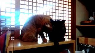 2019.1.23  棚上陣取り バトル猫動画 thumbnail