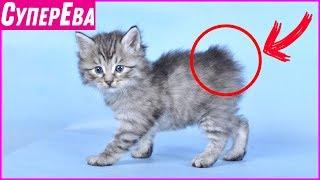 """Котопёс или кошка, которая не боится собак. Дикая порода кошек """"Курильский бобтейл""""."""