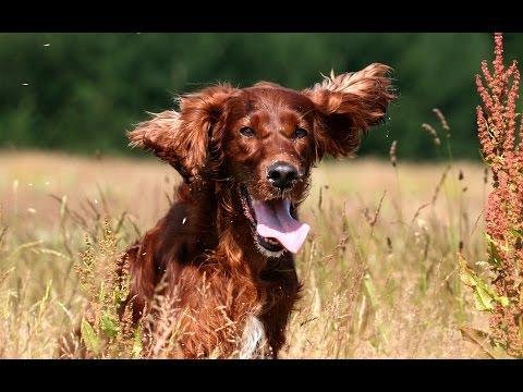 Irish Red Setter - DOG LOVERS ❤