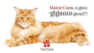 "Maine Coon, o gato ""gigante gentil""!"