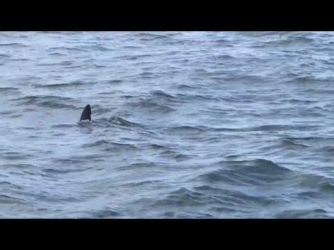 Great White Shark Sighting off Oceanside Harbor July 9, 2017