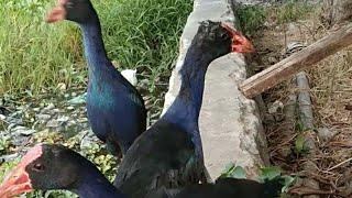 Tes Ngelepasin Burung Mandar Ke Danau Burung