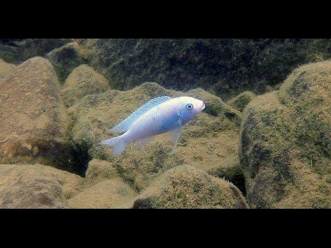 Nakantenga Island Lake Malawi Cichlids - Maleri islands - HD Underwater Footage