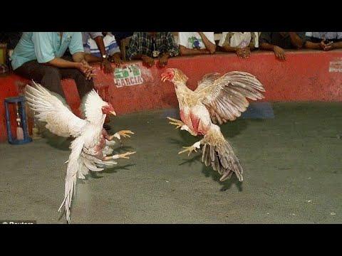 Chicken fight picture 39