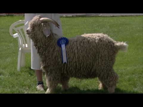 Geifr Angora | Angora Goats