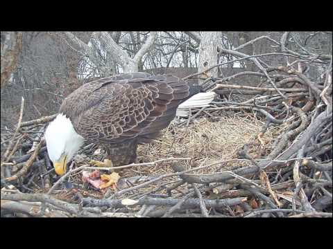 EAGLE CAM 2017 - Liberty & Justice eating and preparing nest