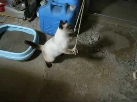 2本のロープで遊ぶシャム猫ちゃんSiamese cat playing with rope【いなか猫793】japanese funny cat
