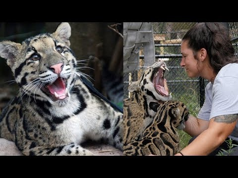 Playing With Cute Clouded Leopard Cubs