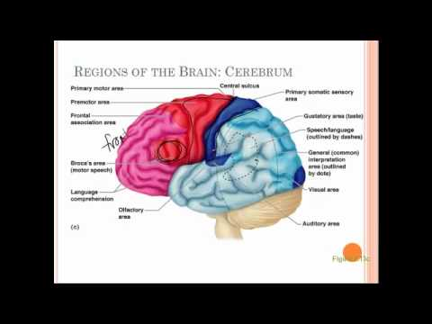 brain structure and function diagram how to wire a transfer switch for generator manual wiring agnitum 7d - youtube